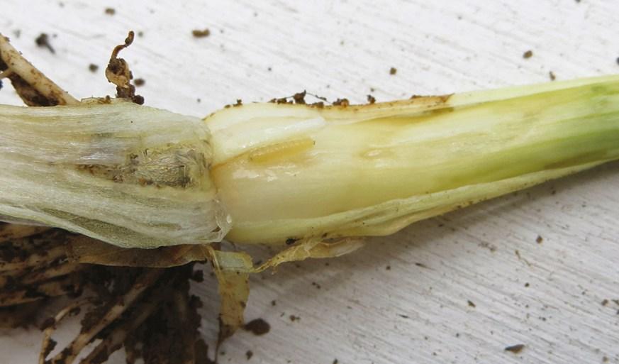 allium bulb with allium leafminer larva