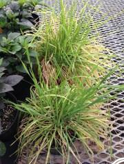 banker plants near crop