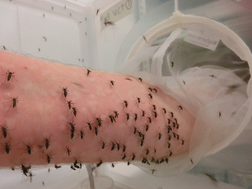 mosquitoes in lab