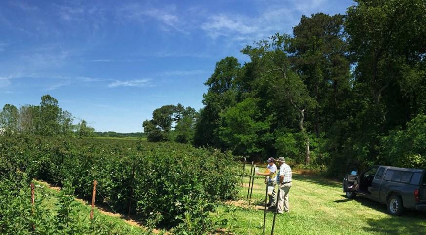 Lauren Diepenbrock with blackberry grower