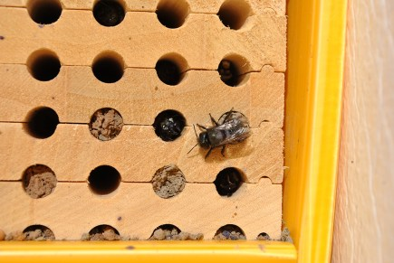blue orchard bees at nest