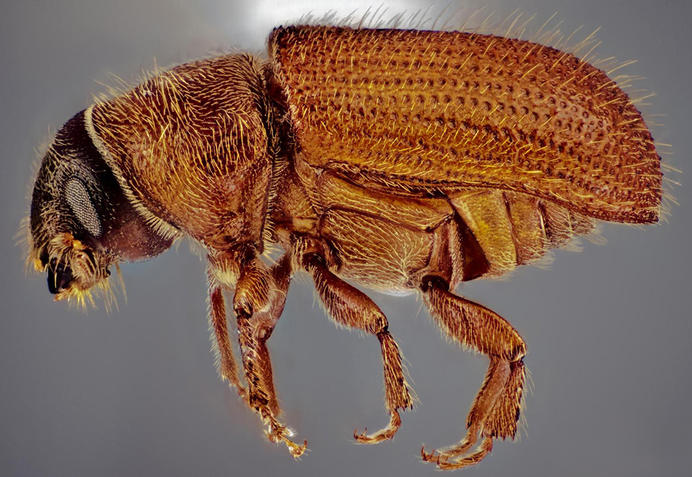 Eastern Larch Beetle Outbreak Just Keeps Going When Winter's Not So Cold