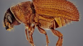 eastern larch beetle