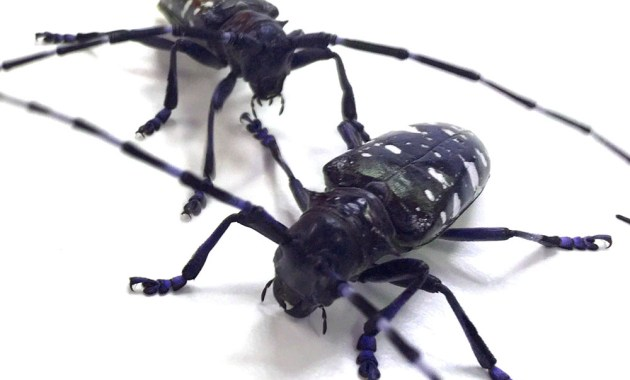 Asian longhorned beetles
