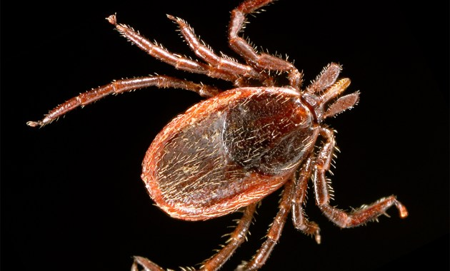 Ixodes pacificus - western blacklegged tick