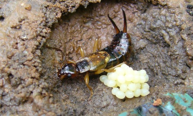 earwig with eggs