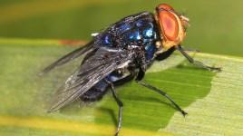 screwworm fly - Cochliomyia hominivorax