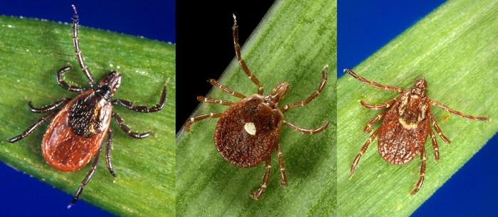 three tick species