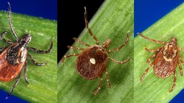 three tick species