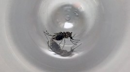 Aedes aegypti in container