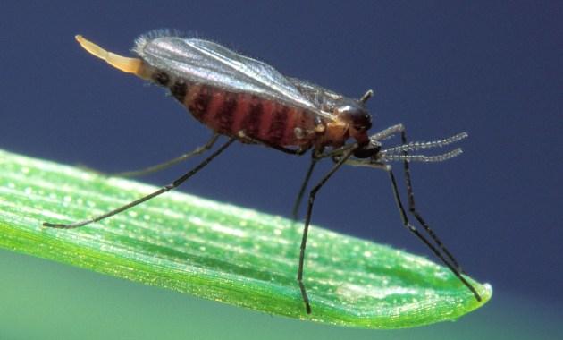 Hessian fly - Mayetiola destructor