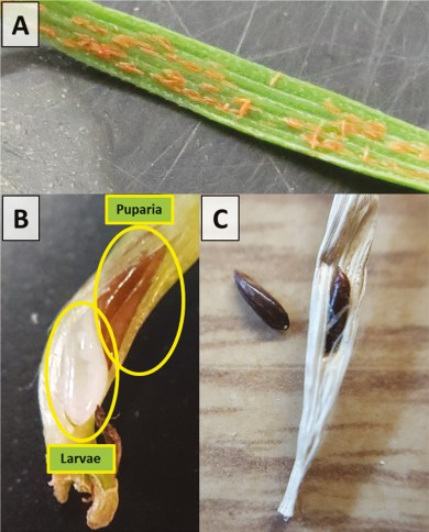 Hessian fly egg - larva - pupa
