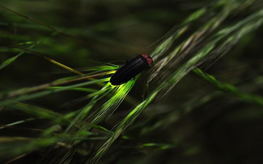 Japanese firefly