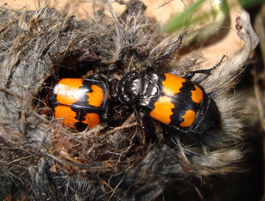 Nicrophorus vespilloides burying beetle