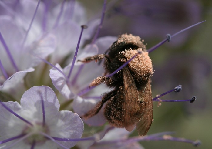 bee with egg powder