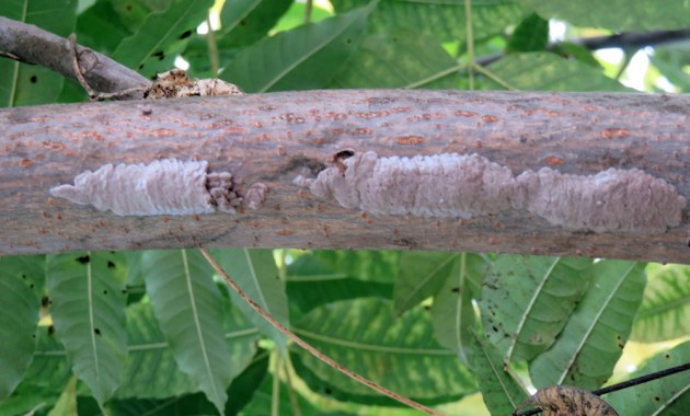 spotted lanternfly egg masses on tree