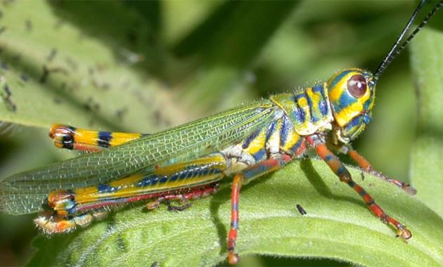 Adimantus ornatissimus grasshopper