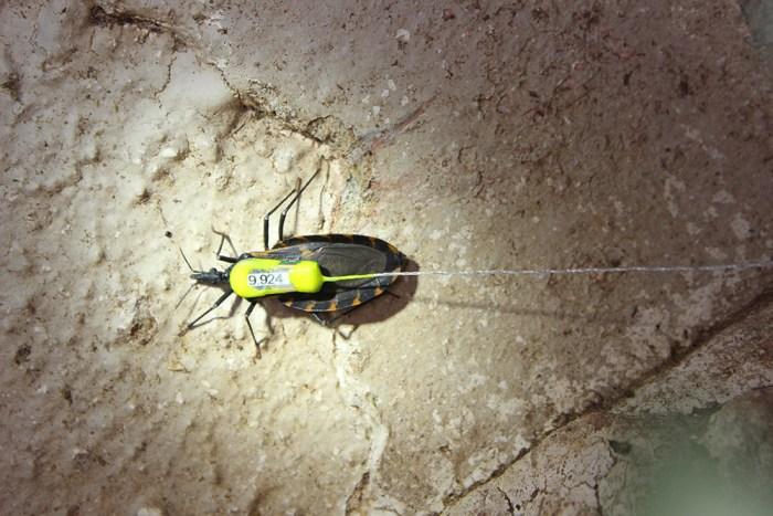 Triatoma gerstaeckeri kissing bug with radio transmitter