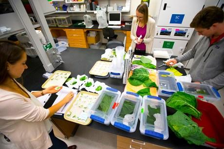harlequin bug thermal plasticity lab experiment
