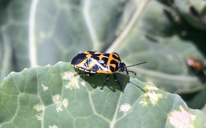 harlequin bug