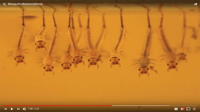 mosquito metamorphosis video screenshot