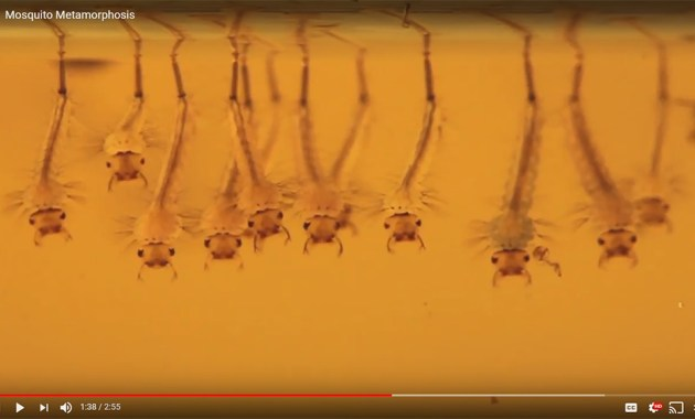 mosquito metamorphosis video screenshot