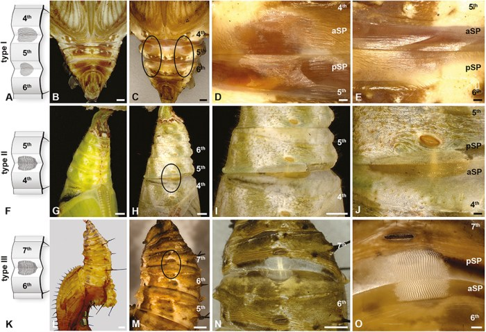butterfly pupae sound-producing structures