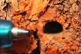 emerald ash borer exit hole