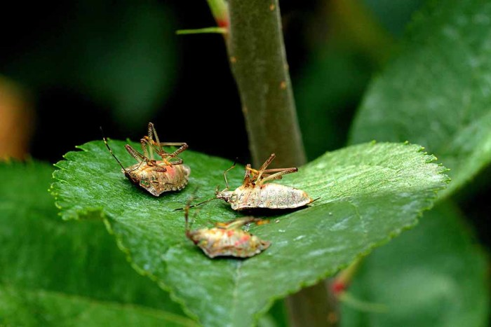 dead brown marmorated stink bugs