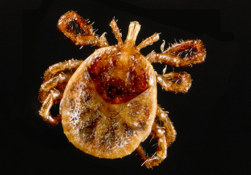 lone star tick nymph - Amblyomma americanum