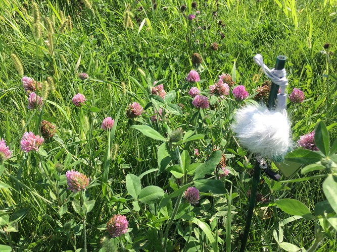 microphone near clover