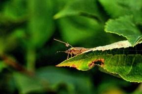 tagged brown marmorated stink bug on leaf