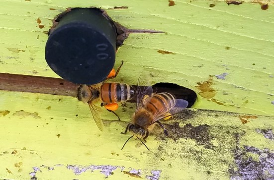 Honey bees returning to hive at Schulz's Farm