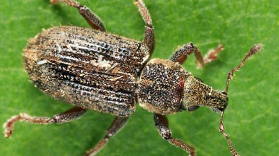 annual bluegrass weevil - Listronotus maculicollis