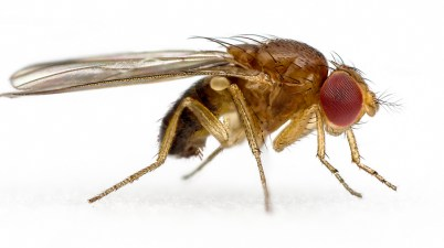 spotted-wing drosophila - Drosophila suzukii 2