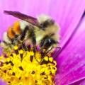 Hunt bumble bee - Bombus huntii