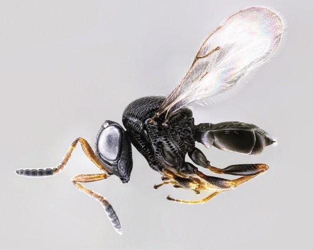 samurai wasp - Trissolcus japonicus