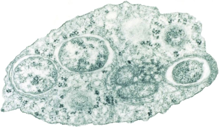 Wolbachia bacteria in insect cell