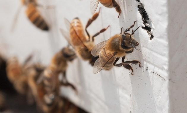 bees at hive