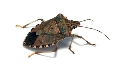 brown marmorated stink bug - Halyomorpha halys - close-up