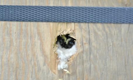 Bombus perplexus bumble bees in nest box