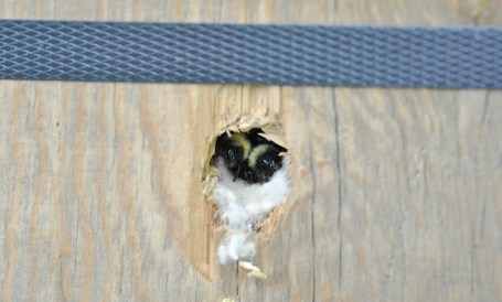 Bombus perplexus bumble bees in nest box