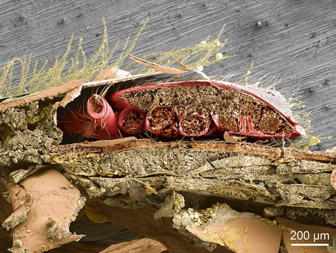 LT-SEM cross-section of mite on bee