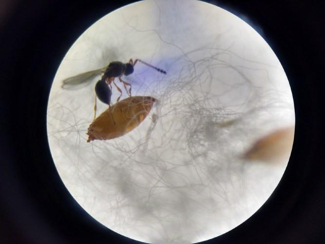 Trichopria anastrephae parasitizing Drosophila suzukii pupa