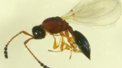 Trichopria anastrephae