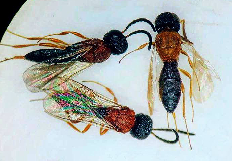 Black-Orange-Black Color Pattern Found in 23 Families of Wasps, Bees, and Ants
