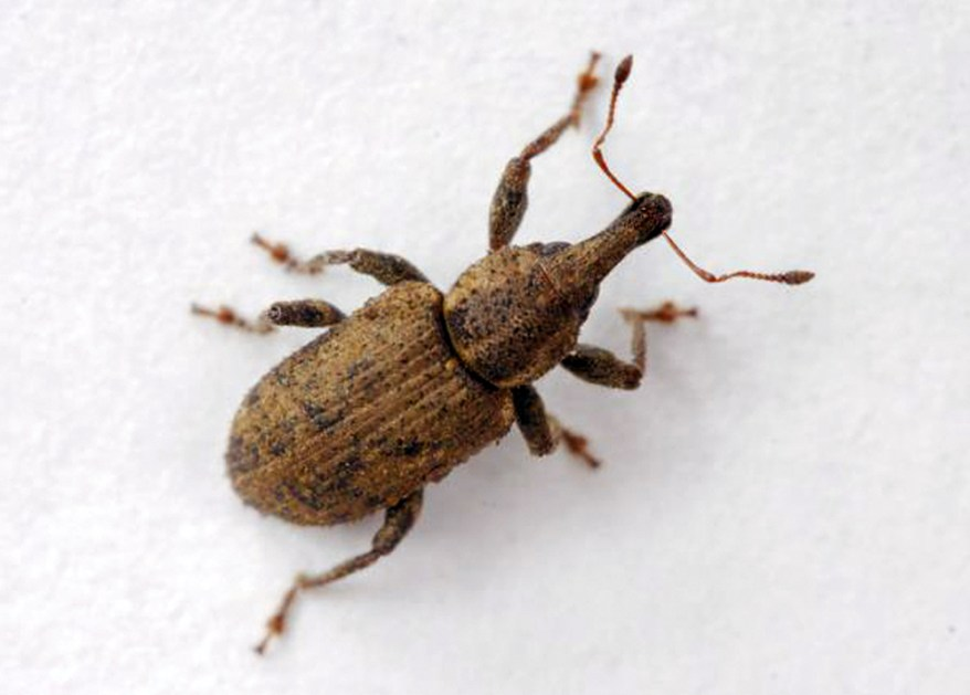 carrot weevil - Listronotus oregonensis