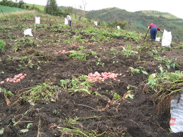 Ecuador potato harvest