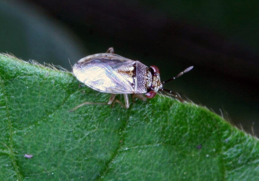 Geocoris sp.