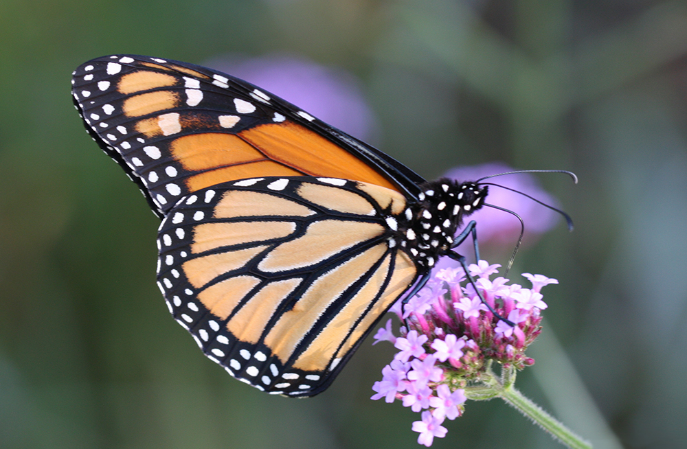 How Milkweed Location Influences Monarch Egg-Laying and Survival